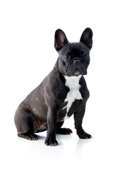 Isolated french bulldog in black