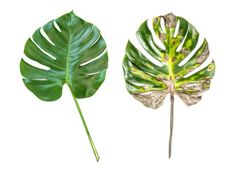 Monstera green leaf Disease illness pain cancer concept