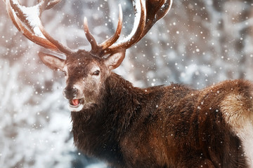 Fototapete - Noble red deer male against the winter snow forest. Winter christmas wonderland. Portrait of wild deer in natural area.