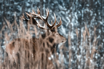 Fototapete - Lonely noble red deer male in  winter snow forest. Winter christmas wonderland.