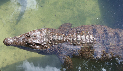 An American Alligator swimming in shallow water