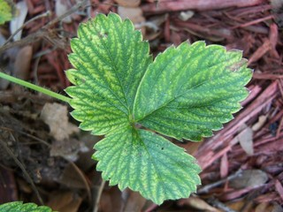 Closeup of the texture on strawberry foliage