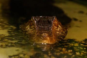 krakodil eyes smooth-eyed caiman
