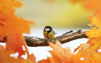 Fototapeta premium portrait of little beautiful bird tit sitting in autumn Park on maple tree with bright red and yellow leaves on Sunny day and eating caught wasp