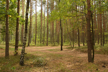 Forest junction between trees in czech Machuv kraj region on 28th September 2018