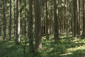 Pine tree forest in August in in Latvia