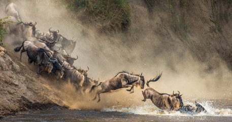 Wildebeests are crossing Mara river