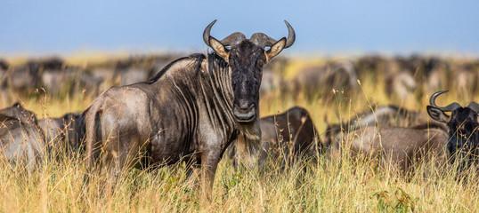Fototapete - Wildebeests standing in the savannah. Great Migration. Kenya. Tanzania. Maasai Mara National Park.