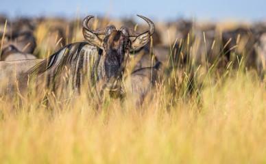 Wall Mural - Wildebeests standing in the savannah. Great Migration. Kenya. Tanzania. Maasai Mara National Park.