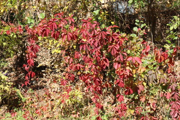 Red leaves of wild grapes adorn the parks