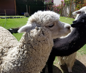 Alpacas in a farm in Peru
