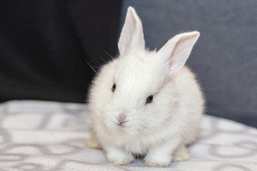 white bunny rabbit looking frontward to viewer, Little bunny sitting on sofa, Lovely pet for children and family inside house