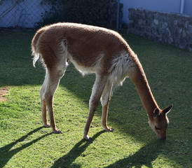 Vicuna in a farm in Peru, South America