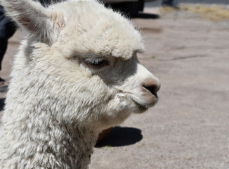 Alpaca close-up portrait in Peru, South America.