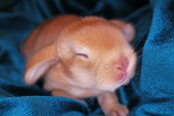 Cute bunny baby rabbit lop kit. New born bunnies.