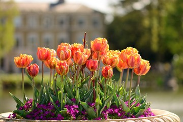 Obraz Close up of a plant pot full of tulips in the garden - fototapety do salonu
