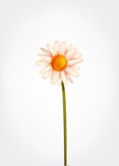 Fresh Daisy flower, marguerite, chamomile isolated.