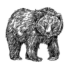 Shaggy bear. Sketch. Engraving style. Vector illustration.