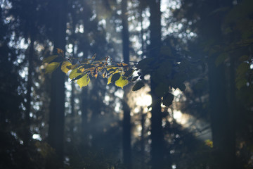 Magical Autumn Forest. Park. Beautiful Scene Misty Old Forest with Sun Rays, Shadows and Fog