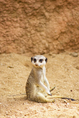 Funny Meerkat Manor sits in a clearing at the zoo