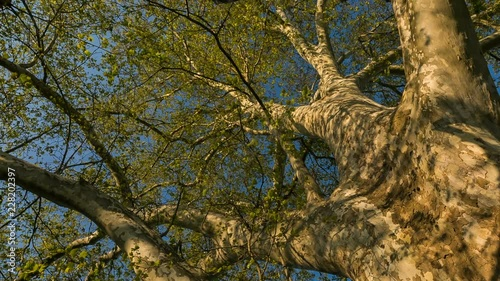 Huge tree with strong branches  Low angle view Magic Lantern Raw