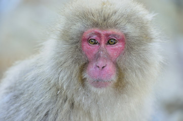 Snow monkey. Winter season. The Japanese macaque ( Scientific name: Macaca fuscata), also known as the snow monkey.