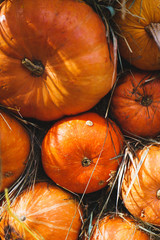 Bright autumn harvest of ripe pumpkins on the dried grass.