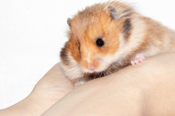 Syrian hamster in the hands of a man on a white background