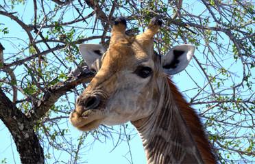Giraffe head in trees, Etosha National Park, Namibia