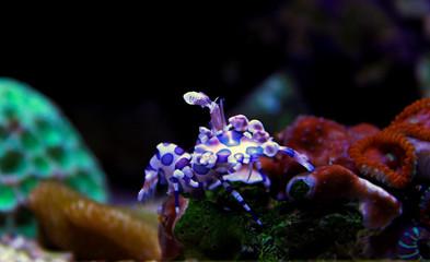 Harlequin Shrimp - (Hymenocera elegans)
