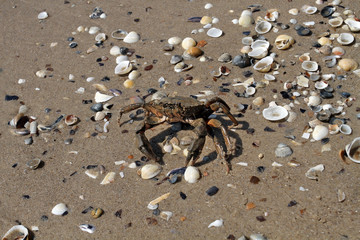 Crab running to the sea on the beach with shells