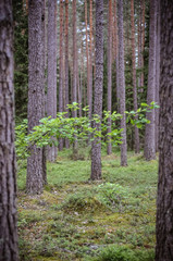 Forest with pine trees and one green branch in the morning.  Nobody in the scene. Shot in Cesis, Latvia.