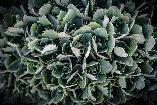 Sedum prominent (Sedum hylotelephium spectabile, Herbstfreude, Stonecrop 'Autumn Joy'). Ornamental garden plant before blooming in early spring.