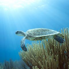 Underwater Endangered Green Sea Turtle