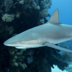Underwaterreef shark with fishhook in mouth, Key Largo Florida