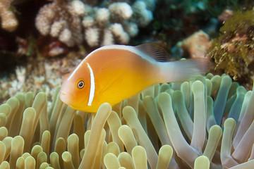 Underwater clownfish and anemone, Fiji