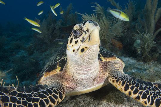 Underwater Endangered Sea Turtle Key Largo Florida