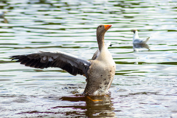 The greater white-fronted goose (Anser albifrons)