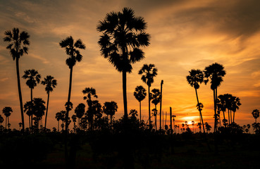 Sugar palm tree in rice fields