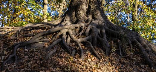 Wurzelwerk eines Baumes im Wald