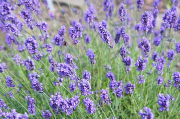 English lavender or lavandula angustifolia melissa lilac purple flowers