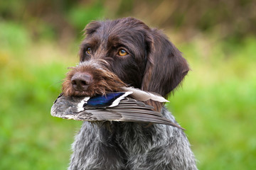 a hunting dog holding duck wing in teeth