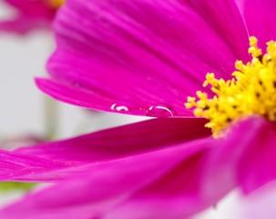 花びらの上の水玉