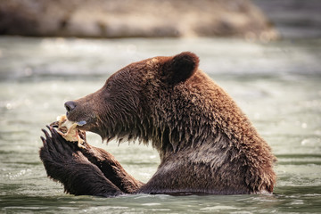 Bear fishing in the Chilkoot river, Haines Alaska