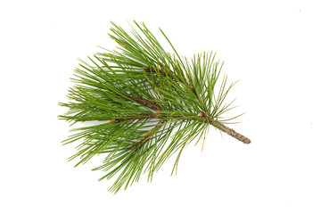pine branch on the white background