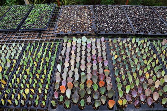 Propagating succulent plant using only the leave cutting to put down into the compost to take root