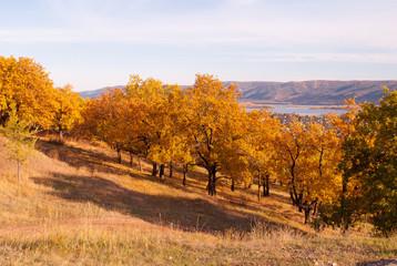 golden oaks on the slope