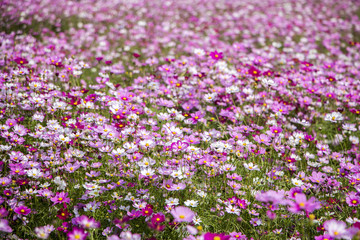 Beautiful Cosmos flowers blooming in the garden