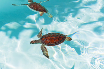 Baby turtle in the water, Mexico