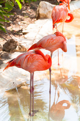 Sleeping pink flamingos in Mexico